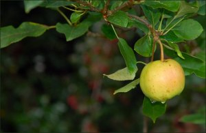 Apple Tree from Bing Images