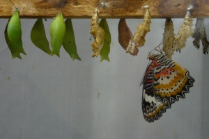 Blog_ButterflyChrysalis