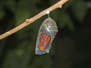 Nymphalidae - Danaus plexippus - Chrysalis