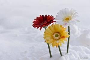 Blog_FlowersInSnow