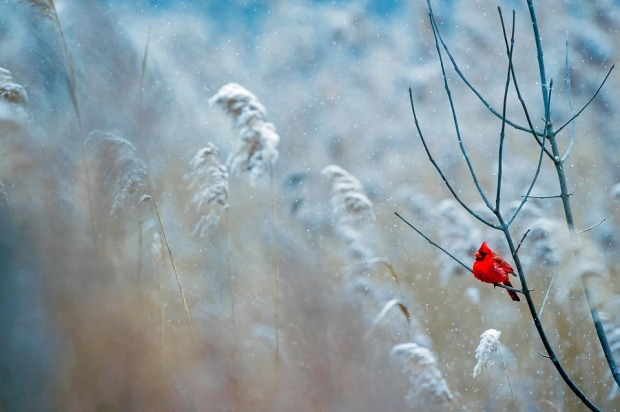 Nature Winter Bird Wildlife Frost Cardinal Snow