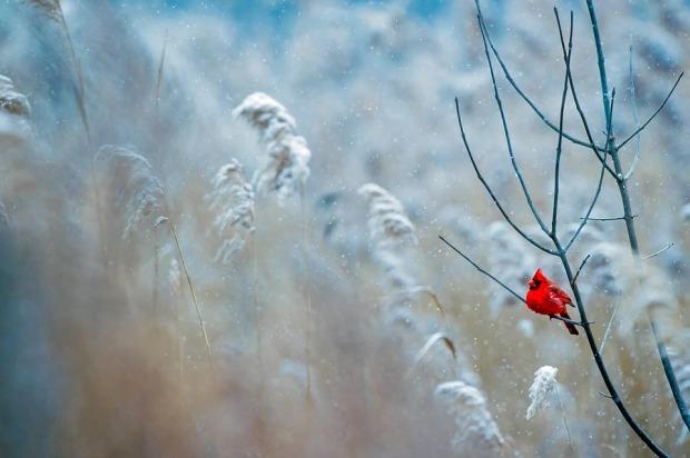 Nature Winter Bird Wildlife Frost Cardinal Snow